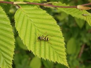 8_Insecte jardin_clyte commun_Môquet_LOE