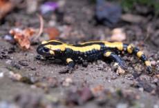salamandre2